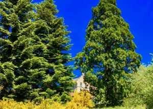 Le grand séquoïa au coeur du parc du Château de La Bruyère